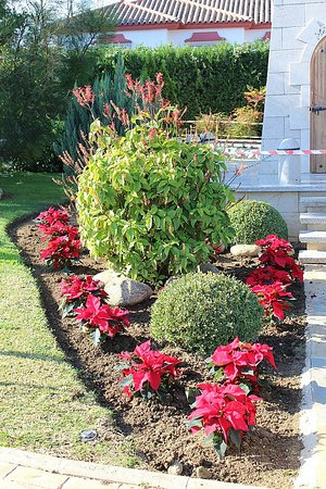 Planting up the Poinsettias