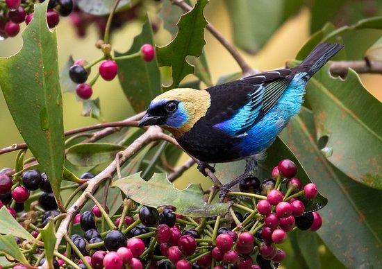 La Tigra, Costa Rica: Aves del Hotel Villas San Rafael Natural Paradise Resort
