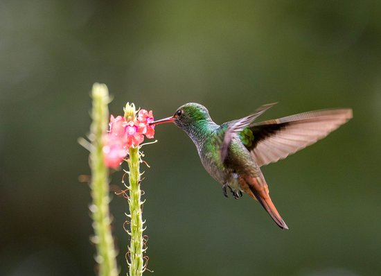 La Tigra, Costa Rica: Colibri en una flor del Hotel Villas San Rafael Natural Paradise Resort