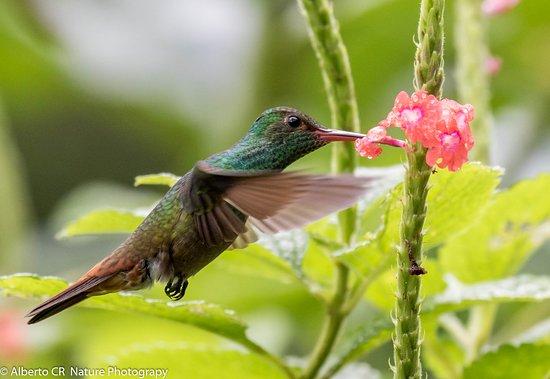 La Tigra, Costa Rica: Colibri en el Hotel Villas San Rafael Natural Paradise Resort