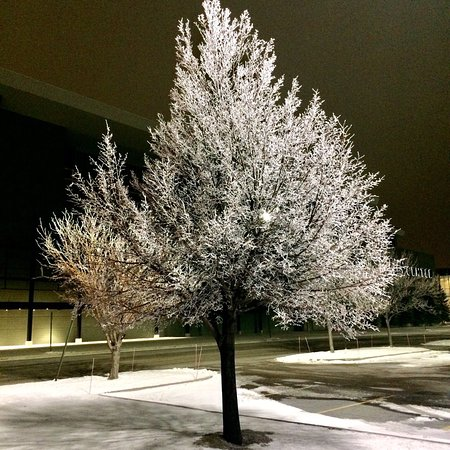 The hoarfrost on the Alerus Center's parking lot trees were pretty amazing this evening.