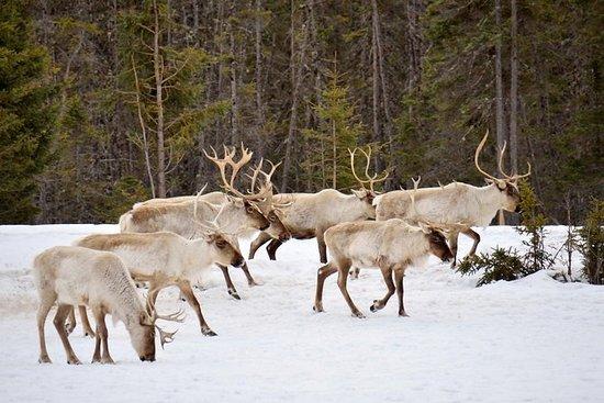Reindeer Sleigh Ride fra Luosto