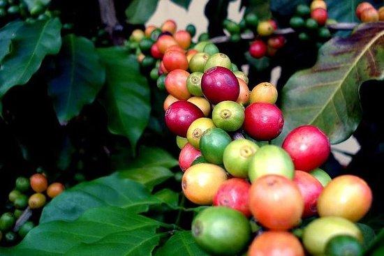 Tour della piantagione di caffè da