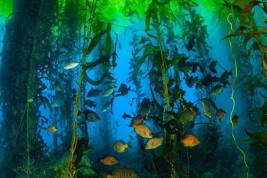 Mergulho na floresta de algas gigantes