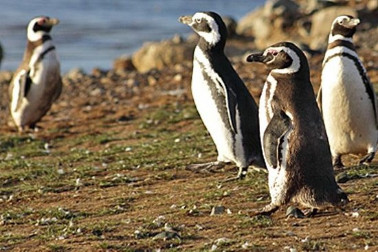 Walk with the Penguins in Martillo...