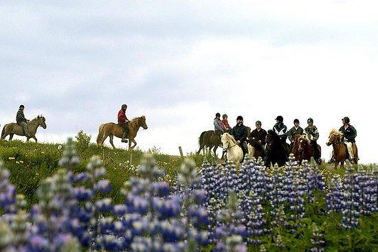 在Laxnes农场的冰岛骑马日游