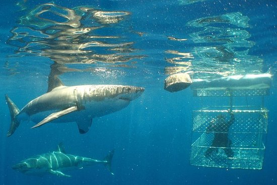 Shark Cage Diving Full Day Tour fra...