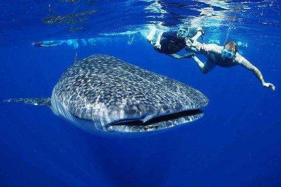 Nado en hábitat de tiburón ballena...