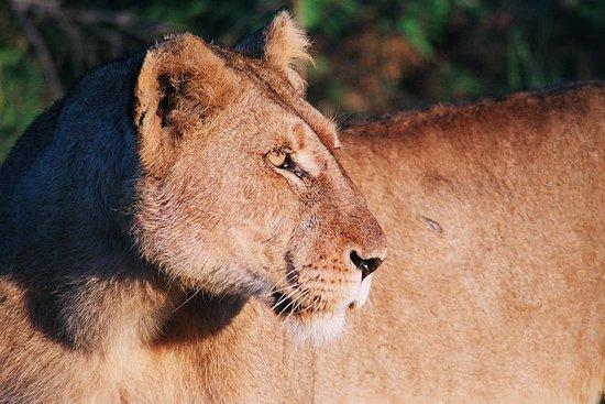 Drive Game di Kruger National Park