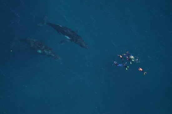 Nager avec les baleines à bosse...