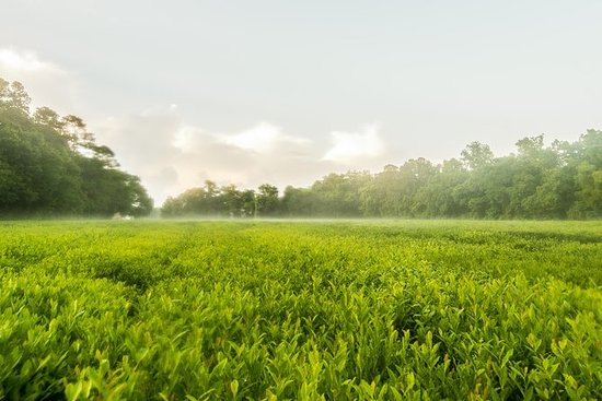 Charleston Tea Plantation and Winery...