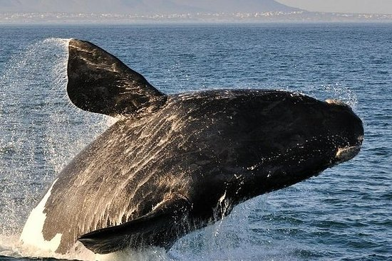 WHALE WATCHING IN HERMANUS TOUR PRIVÉ