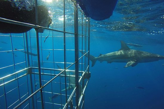 Shark Cage Diving on Durban's Aliwal...