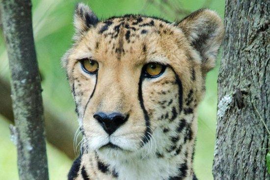 El Centro Cheetah Anne Van Dyk