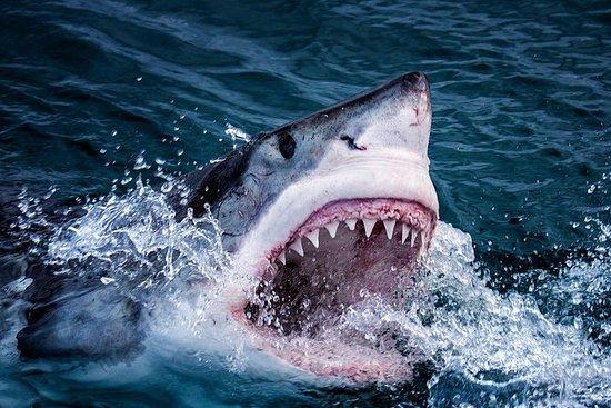 Immersione in gabbia di squalo di 3