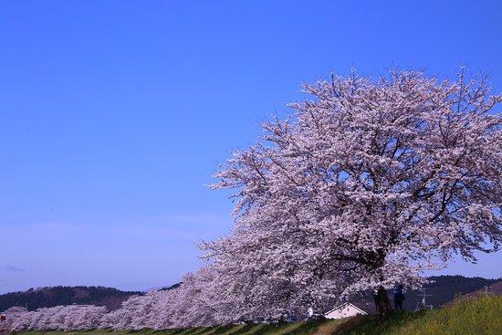 Ogawara-machi, Japon : 柴田町白石川の一目千本桜
