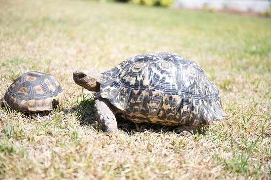 Bonnievale, Südafrika: Our House Tortoises