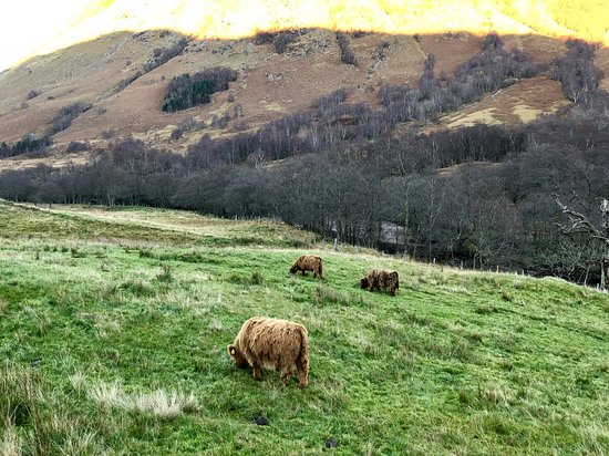 Highland Mini Tours: Hairy Coos :)