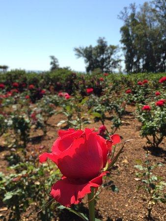 Jardim das rosas no Parque Vila do Café (foto Serjão Carvalho)