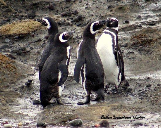 Pinguinos Magallánicos en Islote Conejo, donde llegan a anidar cada temporada.