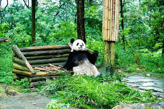 Giant Panda and Leshan Buddha Day...