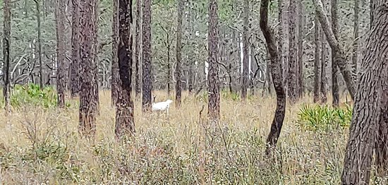 Sopchoppy, FL: White Deer (closer look)