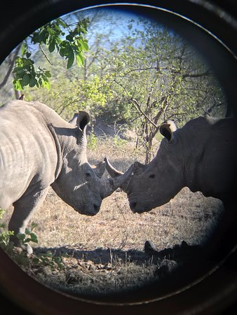 Wild Wings Safaris: Two white rhinos on our second day in Kruger