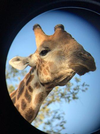 Wild Wings Safaris: A big older male giraffe