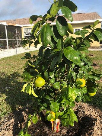 אנגלווד, פלורידה: Ruby Red Grapefruit in my yard