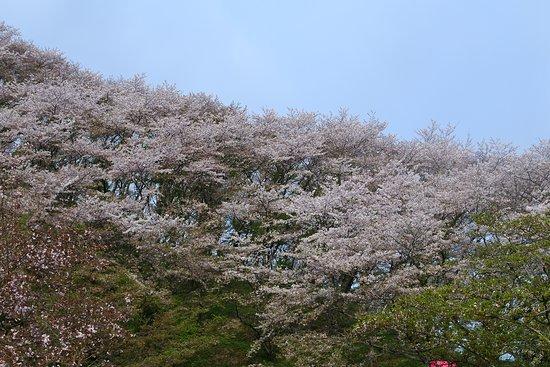 Fujieda, Japon : 桜の季節の金毘羅山です。