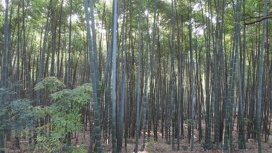 Yueyang, Kina: Bamboo Forest at Jin E Shan Park