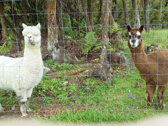 Kumara, Nouvelle-Zélande : Gordon and Jack our Alpacas