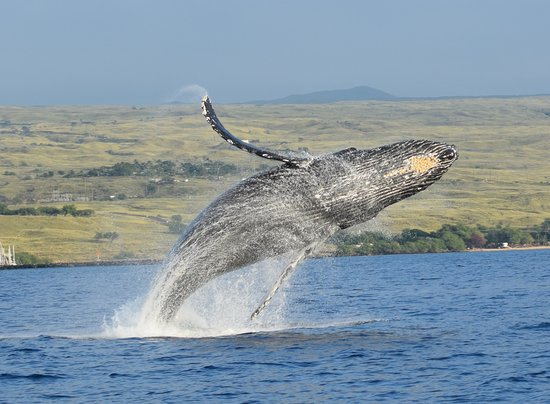Humpback whale breach off Kawaihae Harbor, seen from Riva! Photo credit Michael Faughn, used with permission.