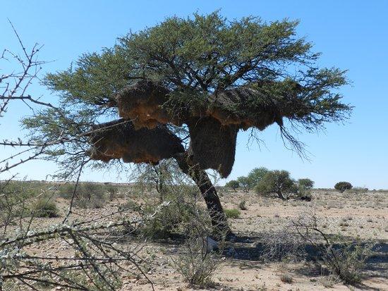 Namibia: Nido dell'uccello tessitore, zona di Mariental strada B1