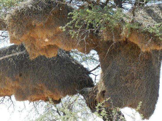 Namibia: Un condominio, il nido dell'uccello tessitore