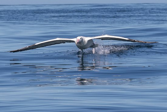 Port To Port Cruises And Wildlife Tours: Southern Royal Albatross, as captured on camera from Sootychaser