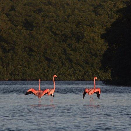 Flamingos in Caroni Swamp. Trinidad.