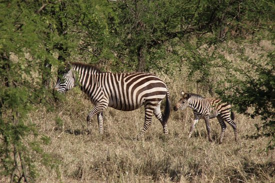 Adventure and Beyond: Zebras just started migrating when we were there.  Groups were several hundred.