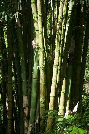 Hana Highway - Road to Hana: Bamboo forest on the road to Hana !