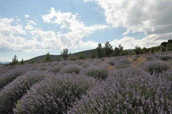 Isparta Province, Turkiet: Isparta, Keçiborlu Kuyucak köyünde Lavanta bahçeleri