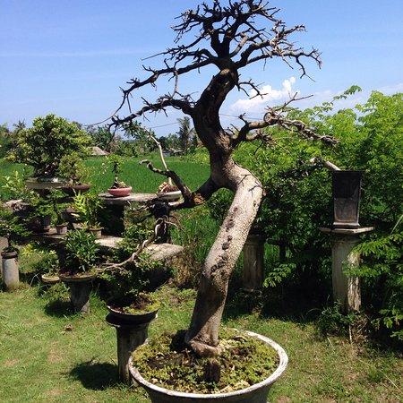 Bonsai,bonsai and bonsai