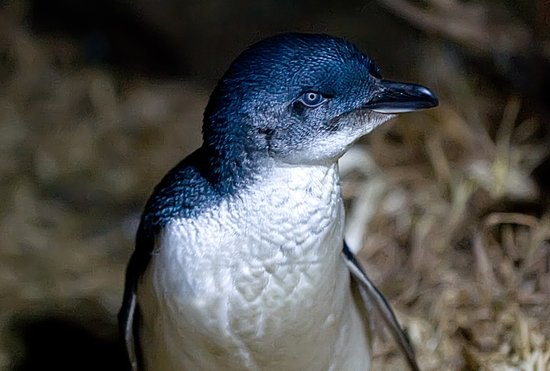 Strahan, Australia: See the Little Penguins at Bonnet Island