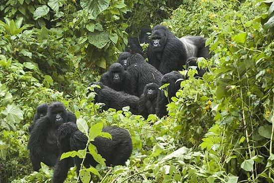 ゴリラトラッキングウガンダとルワンダ