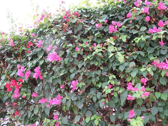 Jaz Fanara Resort: Цветочки возле забора