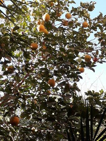 Sahara Desert Excursions: Orange trees are everywhere