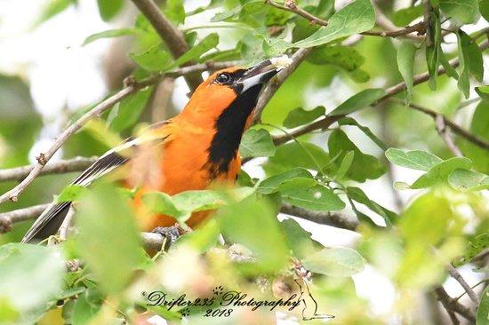 Bird Guide Cornelio: Altamira Oriole