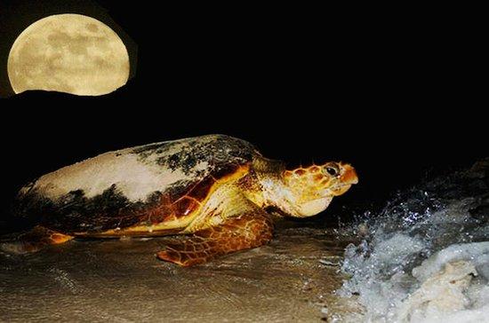 La marche des tortues depuis Santa...