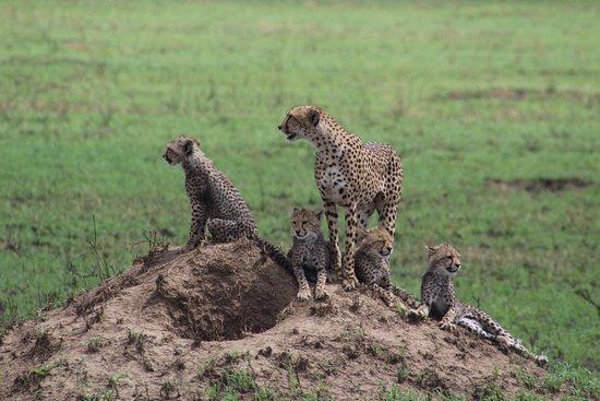 Kilimanjaro & Safaris: Mamá Gepardo y crias
