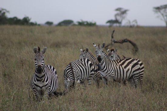 Kilimanjaro & Safaris: Cebras