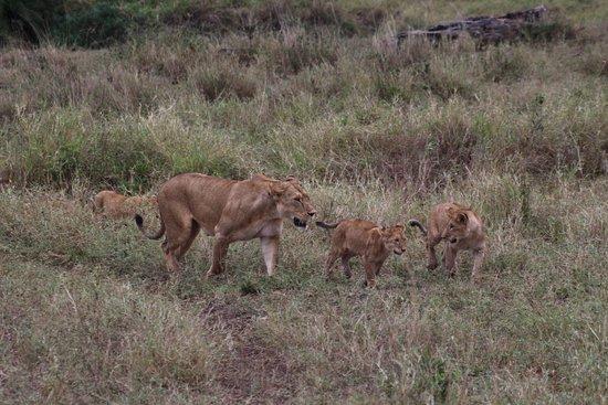 Kilimanjaro & Safaris: Leona y crias